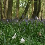 Bluebells and wood anemone carpeting the floor in the woods