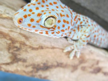 Tokay Gecko. Bright blue with orange spots. Noctural with a loud mating call that really carries in the still night air!