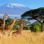 giraffe's on the Serengeti planes with Kilimanjaro in the background